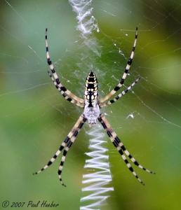 1 yellow-garden-spider-argiope-aurantia--38064